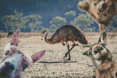 Collage av djur som bor i Australien fotografering för bildbyråer