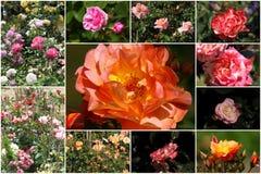 Collage av färgrika rosor Arkivfoton