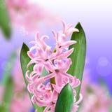 Collage av färgrosa färghyacinten Royaltyfria Bilder