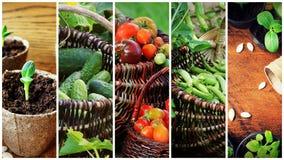 Collage av grönsaker - produkter av grönsakträdgården royaltyfria bilder