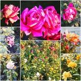 Collage av härliga rosor i trädgård Steg blommor som täcker den rosa busken i sommarträdgård Collage av tonade foto Royaltyfria Foton