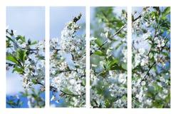 Collage av härliga vita blommor för äppleträd Royaltyfria Bilder