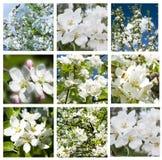 Collage av härliga vita blommor för äppleträd Arkivbild