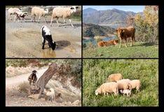 Collage av lantgårddjur royaltyfria bilder