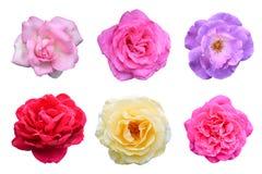 Collage av rosblommor (den Rosa multifloraen) är isolerad vit bakgrund royaltyfri foto