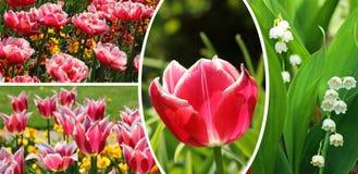 Collage av tulpan och liljan i dalen, vår blommar royaltyfria foton