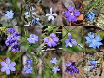 Collage azul australiano del oeste del sur de las flores salvajes Foto de archivo libre de regalías