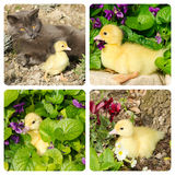 Collage with baby duck. And cat stock photo