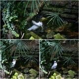 Collage of Bali Starling Mynah White Bird Bathing Stock Images