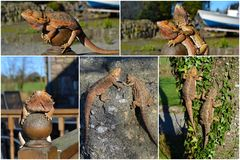Collage Bearded Dragon Stock Photography