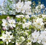 Collage of beautiful apple tree white flowers . Stock Photo