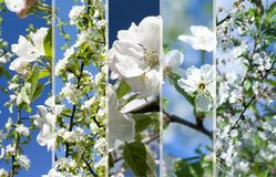 Collage of beautiful apple tree white flowers . Royalty Free Stock Photo
