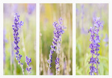 Collage with beautiful blue salvia. Royalty Free Stock Images