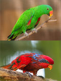 Collage of beautiful Chattering Lory Lorius on a branch Stock Photo
