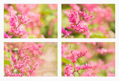 Collage with beautiful coral vine flower Stock Image