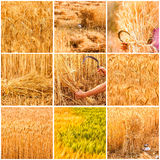 Collage with beautiful  golden spikelets Stock Photos