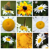 Collage with beautiful Leucanthemum flowers Royalty Free Stock Photography