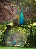 Collage of beautiful peacock with feathers out Royalty Free Stock Photo