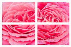 Collage with beautiful pink rose   petal on white background. Na Royalty Free Stock Photos