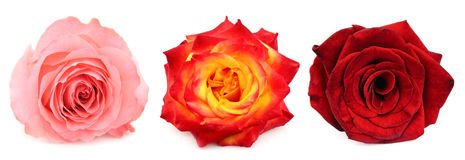 Collage of beautiful rose Stock Photography