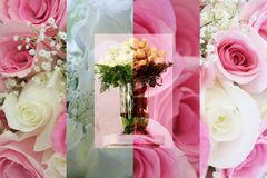 Collage of Beautiful Roses Royalty Free Stock Images
