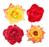 Collage of beautiful roses Stock Image