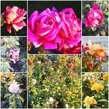 Collage of beautiful roses in garden. Rose flowers covering rose bush in summer garden. Collage of toned photos Royalty Free Stock Photos