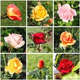 Collage of beautiful roses Royalty Free Stock Photo