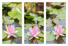 Collage with beautiful white violet water lily lotus  flower. Stock Photo