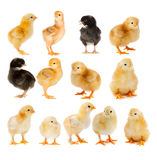 Collage of beautiful yellow and black chicks Stock Photo