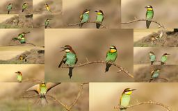 Collage of bee-eater birds Royalty Free Stock Photo