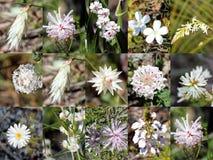 Collage bianco australiano ad ovest del sud dei fiori selvaggi Fotografia Stock
