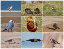 Collage with Birds. A collage with nine different types of birds; Sanderling, Moorhen, Lapwing, Seagull, Golden Phesant, Starling, Curlew, Crow and Goldfinch Royalty Free Stock Image
