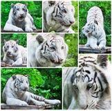 Collage blanc de tigres Image stock