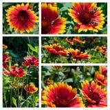 collage blommar gaillardia Fotografering för Bildbyråer