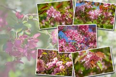 Collage blooming apple trees in the garden, the flowers on the trees in stock photos