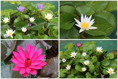 Collage of blooming Lotus flowers, Asia Stock Photos