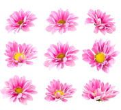 Collage blooming pink chrysanthemum Stock Photo
