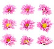 Collage blooming pink chrysanthemum stock photo