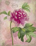 Collage botánico antiguo - elegancia lamentable - peonía rosada - matasellos y escritura franceses Epehmera - fondo Painterly stock de ilustración