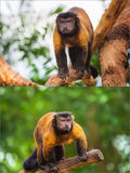 Collage of brown capuchin monkey Stock Image