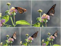 Collage of Butterflies on Lantana Stock Image