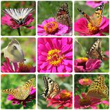 Butterflies sitting on zinnia. Collage with butterflies sitting on zinnia Royalty Free Stock Photo