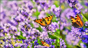 Collage with butterfly on blooming lavender flowers Royalty Free Stock Images