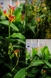 Collage of Canna indica plant: flowers, seed pods, leaves Royalty Free Stock Images