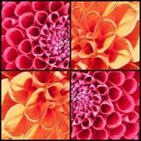 Collage carré des dahlias oranges et roses Images stock