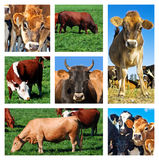 Collage of cattle on the field Royalty Free Stock Photos