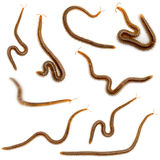 Collage of centipedes in front of white background Royalty Free Stock Image