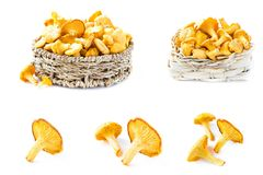 Collage of chanterelle mushroom on white backgtound Stock Image