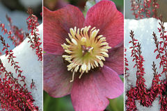 Collage of christmas rose and heather Stock Photo